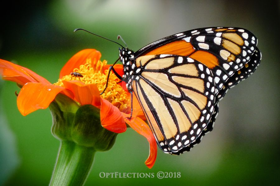 Monarch Butterfly by OptFlections