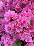 Pink Flowers by BreDemonal24