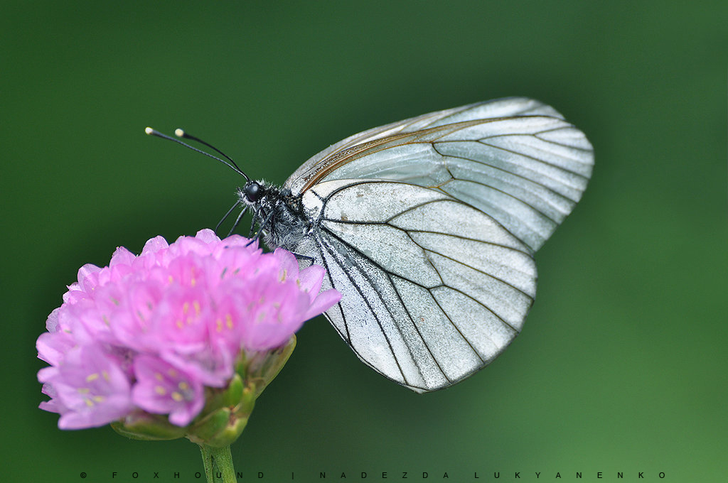 Butterfly by photoFH