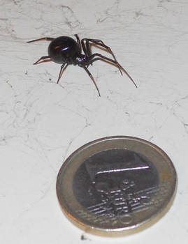 False widow with Euro