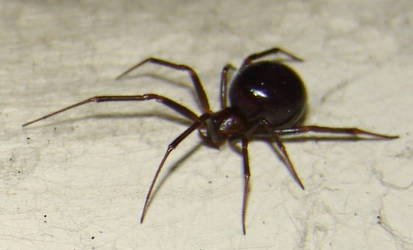 False widow 2