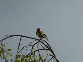 Goldfinch on high