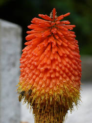 Red Hot Poker and wasps