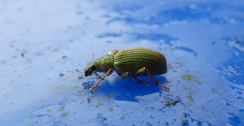 Green Weevil by setanta5
