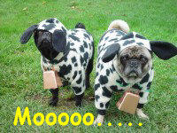 2 pugs in cow costumes by DarkAngel4Life522