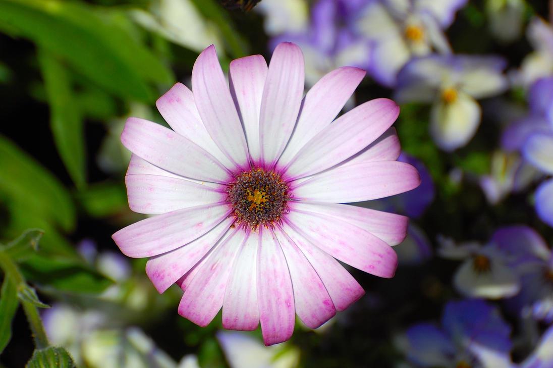 Daisy-104 by lichtie