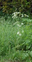 White Flowers Crop 29 by lichtie