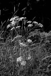 White Blooms  28 (2) by lichtie