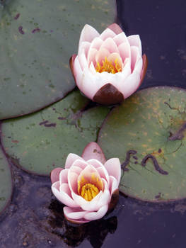 Two rose waterlily