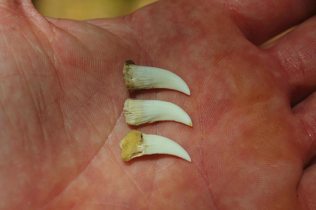 Komodo Dragon Teeth by sethhanbury on DeviantArt