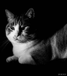 The cat by Samsalomon