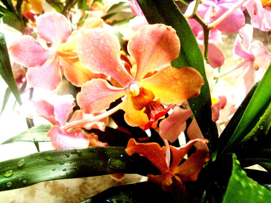 grandma's orchid's by simplyjois