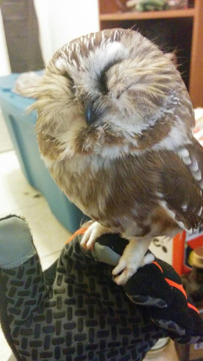 Artemus Owl Again by midnightwisp