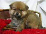 Lookie, Pomeranian Puppy--