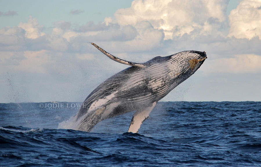 Humpback breach by Oracle88