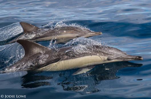 Glassy Waters and Common Dolphin by Oracle88