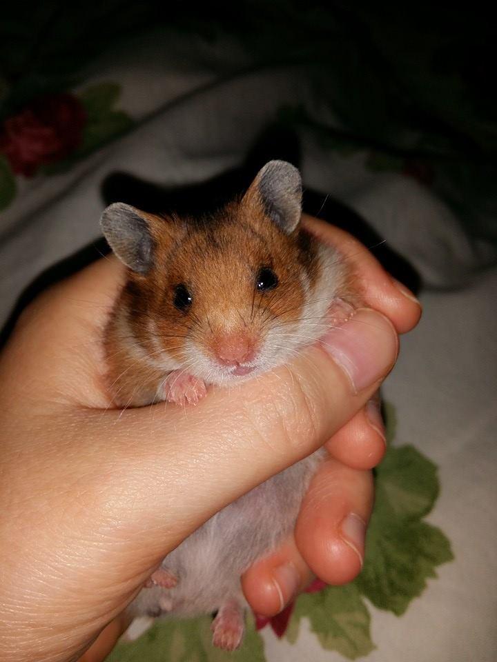Kiera (syrian Hamster) by Ranchan120