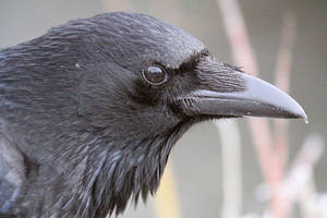 Crow on the side