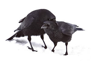 Two Crows 2