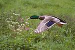 Low Flying Duck