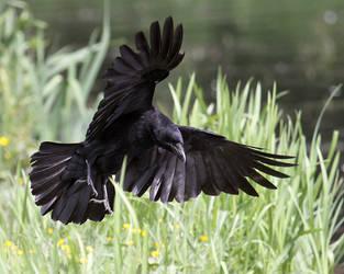 Crow Landing by SnowPoring