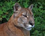 Puma 7