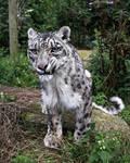 Snow Leopard Snarl