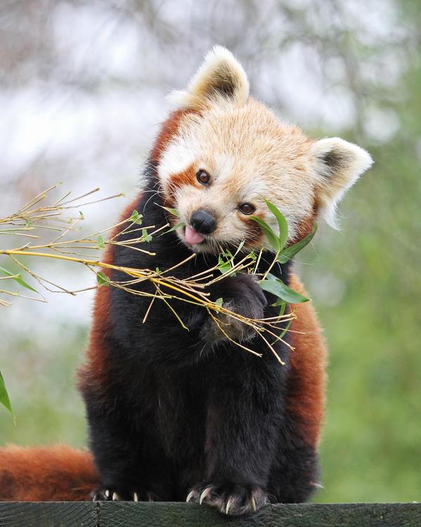 Red Panda 3 by SnowPoring