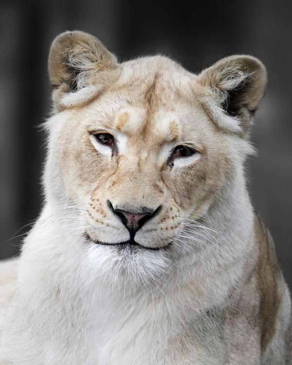 [صورة مرفقة: Lion__s_Smile_by_SnowPoring.jpg]