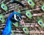 Prettyful Peacock
