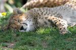 Cheetah cub snooze