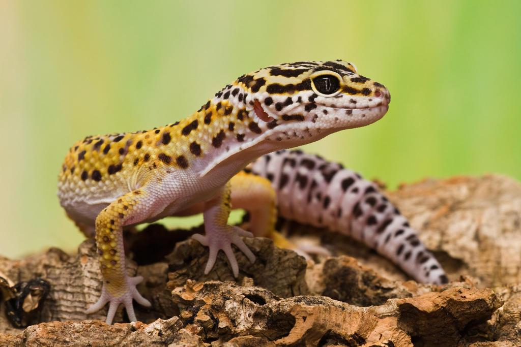 leopardgecko - DeviantArt