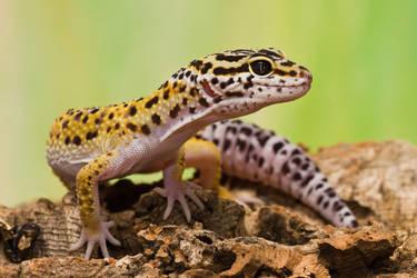 Leopard Gecko by SnowPoring