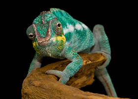 Panther chameleon by SnowPoring
