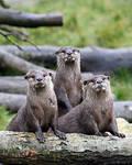 Three Otters