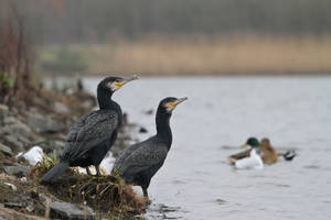 Two Cormorants by SnowPoring