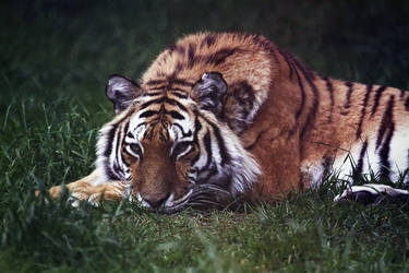 Tiered Tiger