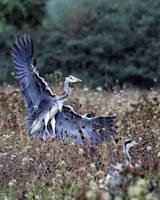 Heron Landing by SnowPoring