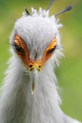 Secretary Bird by SnowPoring
