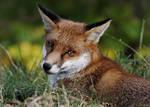 Fox Glance