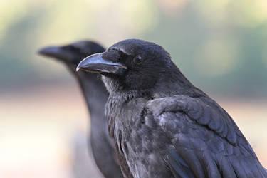 Park Crows by SnowPoring