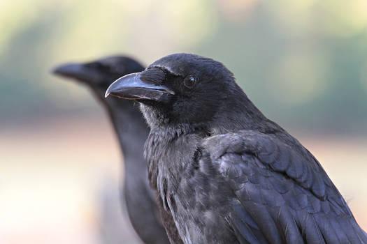 Park Crows