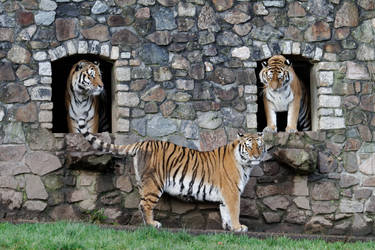 Tiger Smilie