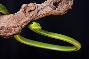 Vine Snake 2 by SnowPoring