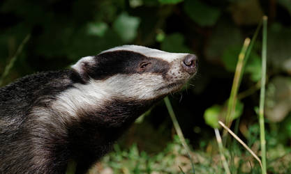 Badger by SnowPoring