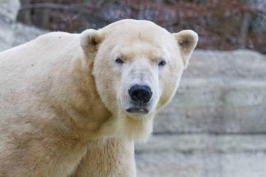Polar Bear Stare by SnowPoring