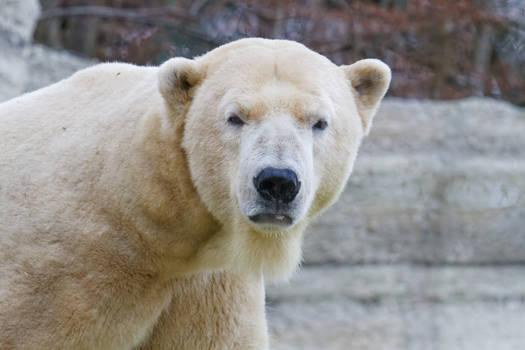 Polar Bear Stare