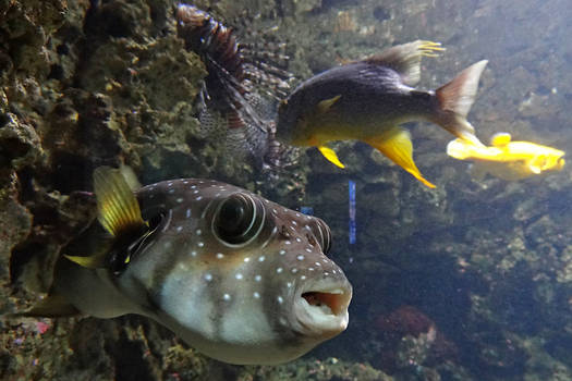 Puffer and friends