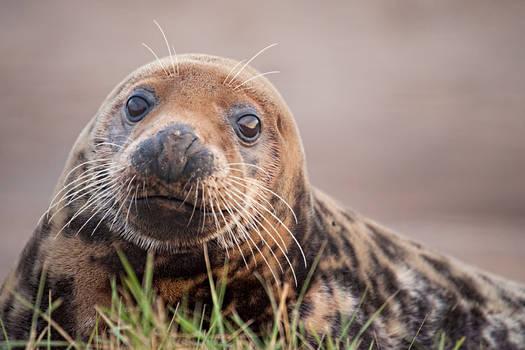 Seal Stare