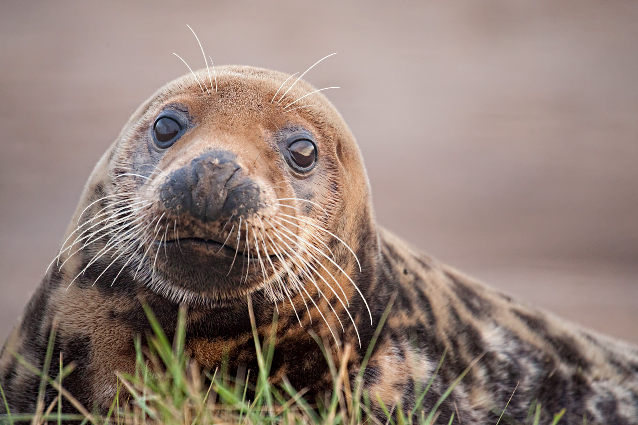 Seal Stare by SnowPoring